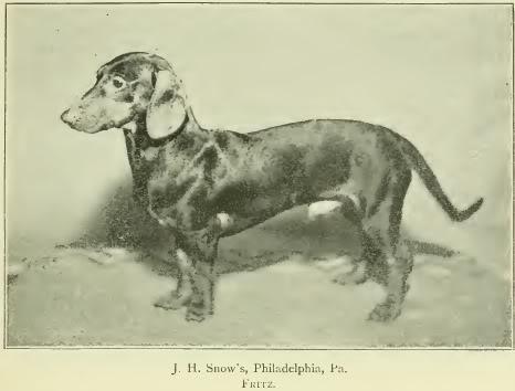 1897 mäyräkoira