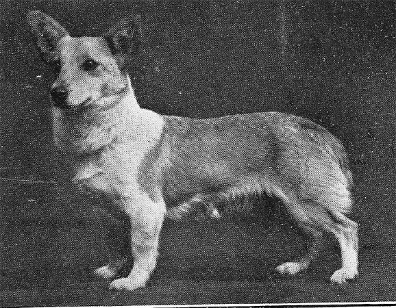1929_PembrokeCorgi_ch_golden_girl