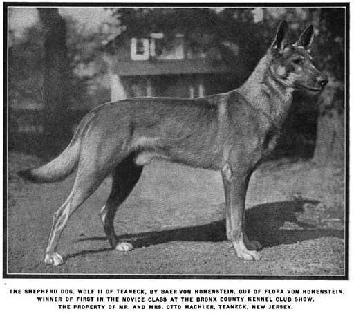 saksanpaimenkoira 1920